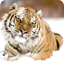 Tigers Live Wallpaper HD 1.0 for Android
