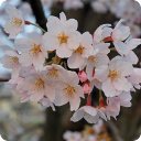 Sakura Mosaic LWP 4.1 for Android