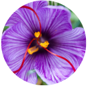 Benefits of Saffron 1.0 for Android