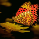 Golden Butterfly Live Wallpaper 2 for Android