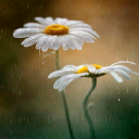 White Daisy Live Wallpaper 2 for Android