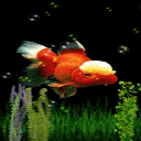 White Orange Fish Live Wallpaper 2 for Android