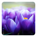 Crocus Flowers Live Wallpaper 1.0 for Android