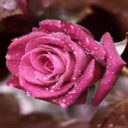 Dewy Pink Rose Live Wallpaper 2 for Android