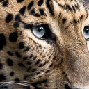 Leopard Live Wallpaper 26 for Android