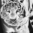 Black And White Tiger Live Wallpaper 26 for Android