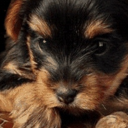#Sweet Puppy Live Wallpaper 26 for Android