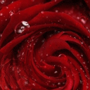 #Water Drop Red Rose Live Wallpaper 26 for Android