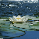 # # # Water Lily Live Wallpaper 1 for Android