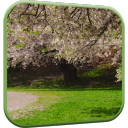 Cherry Blossom Live Wallpaper 1 for Android