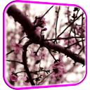 Sakura Live Wallpaper 1.0 for Android