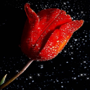 Red Tulip Live Wallpaper 2 for Android