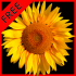 Flower Fields:Sunflowers 1.4 for Android